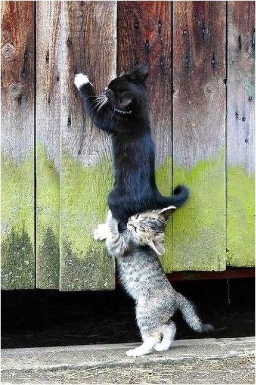 cats helping each other to climb